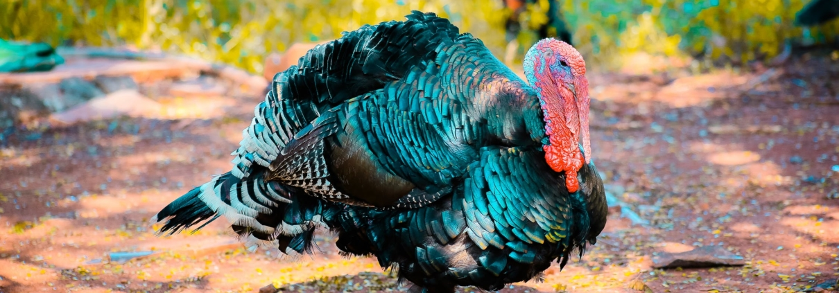 Mr Turkey